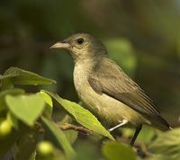 Pale-billed or Tickell's Flowerpecker