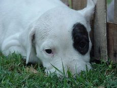 Some Dogo Argentino's such as this pup have a black patch on the eye due to Bull Terrier ancestry.Only a patch on the eye is allowed