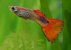 The Guppy (Poecilia reticulata) is one of the most popular freshwater aquarium fish species in the world.