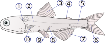 Lampanyctodes hectoris  (1) - operculum (gill cover), (2) - lateral line, (3) - dorsal fin, (4) - fat fin, (5) - caudal peduncle, (6) - caudal fin, (7) - anal fin, (8) - photophores, (9) - pelvic fins (paired), (10) - pectoral fins (paired)